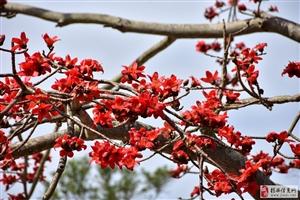 今年春天来得早,河婆的木棉花开了