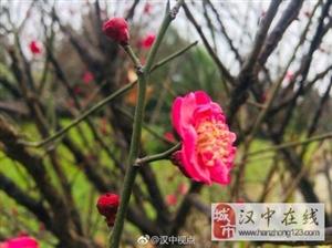 春天来啦,汉江边的梅花开了!