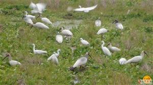二十多只朱鹮长期在老君镇王道池田间觅食