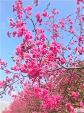 金沙平台网址花庄假日营地带你看樱花
