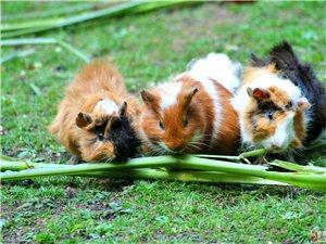 自�B繁殖荷�m�i豚鼠、很漂亮的呦