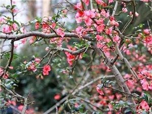 春天到了!�S都�h城梅花、海棠花、玉�m花��盛�_……