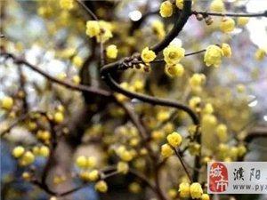 中国鄢陵梅花文化旅游节  曹魏古城一日游  88元