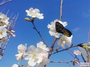 【参赛】一朵折春风,花浓春意浓(手机)