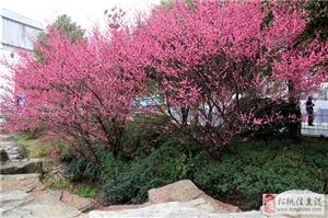 """松桃公园的花开啦!形成""""万绿丛中一点红""""之画意,还不去观赏?"""