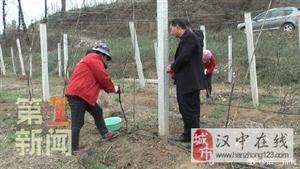 一年之计在于春 西乡猕猴桃改良品种嫁接忙