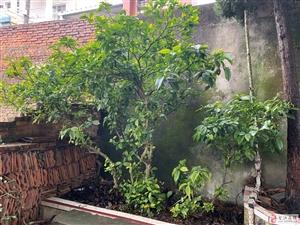 今日头条,因房屋拆迁,20年至30年珍贵花木出售