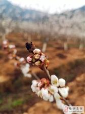 盐亭樱桃花又开|最是一年春光好