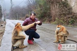 """洋县:野生金丝猴下山""""化缘"""" 众村民热情""""待客"""""""