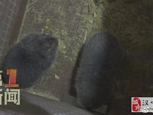 �h中佛坪:竹鼠�B殖促民增收