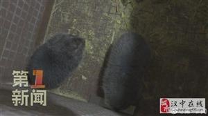 汉中佛坪:竹鼠养殖促民增收