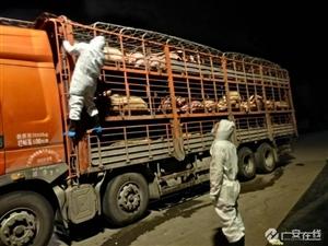 邻水县拦获一车非洲猪瘟疫病生猪!已采取有效措施进行处理。