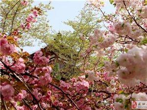 【阳春三月】旅游‖2019青龙寺樱花季浪漫开启,还有更多,收好不谢!