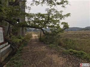 一棵树的分枝挡住一村人的出入
