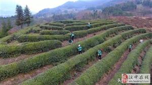 西乡春茶开始采摘