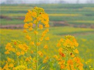 黄金城娱乐娱乐刑家坝发现了黄色、金色、白色的油菜花