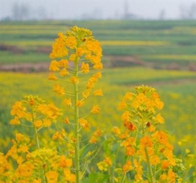 汉中刑家坝发现了黄色、金色、白色的油菜花