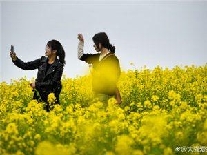 澳门美高梅国际娱乐场油菜花中的百态身姿,真迷人