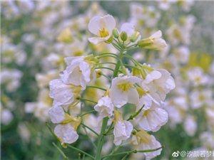 @汐�若��blog:三月的�L情,在�@���S白粉的菜花里(�M�D)