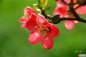 红红的海棠
