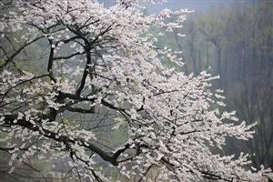 万亩山樱,花开如海――新县这个地方美爆了!