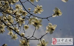 威尼斯人网上娱乐平台汉江边玉兰花