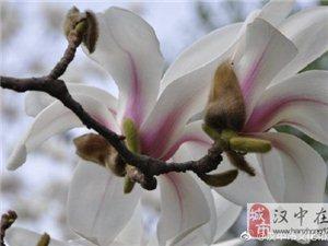 汉中汉江边玉兰花