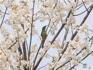 何必羡慕其它地方可以拍鱼吃荷花,在湄潭也可以拍鸟吃樱花。