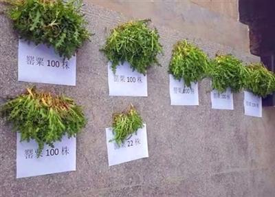 光山警方已抓捕两人,竟因为种植罂粟