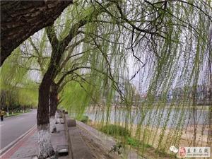 美翻|故乡的河,河边的柳!盐亭梓江河边柳绿起舞惹人醉!