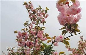 春来宿州赏花去