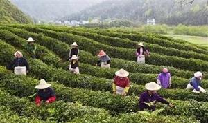 紧急求助!罗山茶叶开采在即,大量缺采茶工,请求大家帮忙...