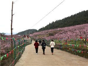 山磴坡桃花盛�_了,好美的一片桃花