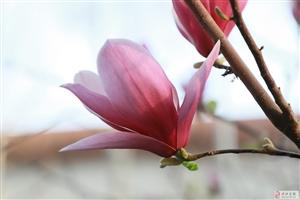 2019县实验中学的玉兰花开了!