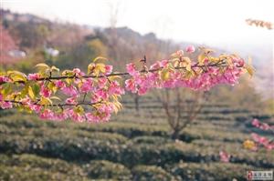 湄潭樱花,秀美天下