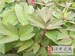 汉中市洋县的牡丹园,快含苞待放啦