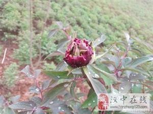 威尼斯人网上娱乐平台市洋县的牡丹园,快含苞待放啦