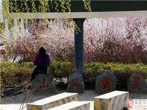 最美不过是秦安凤山公园里四月花开俊男美女的浪漫邂逅