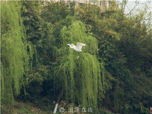 湄江河岸的白鹤