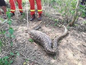 """儋州有只""""贪吃蛇"""";3米长蟒蛇闯进村民家生吞一只羊"""