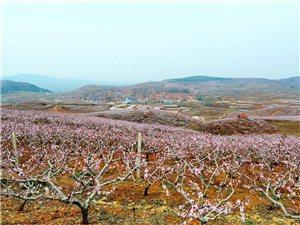 桃花盛�_�M山坡