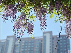 《紫藤花开》