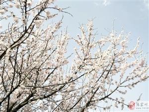 暮春四月,三国街亭古战场龙山镇西梁子杏花娇艳绽放游人如织