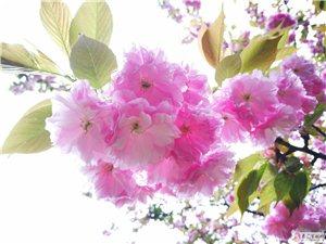 樱花盛开..华为mate9拍摄