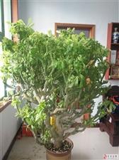 现有一棵非常壮观非常漂亮的绿植出售