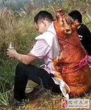 化州有人认识这位背烧猪拜山的大哥吗?这个清明他火了..