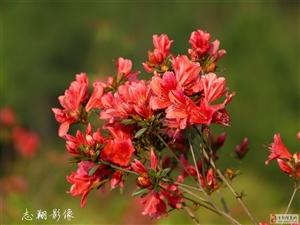 梓山镇山峰村的映山红开得那么鲜艳,那么灿烂!
