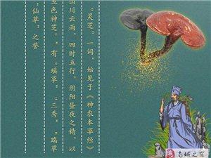 神农仙草,精品灵芝