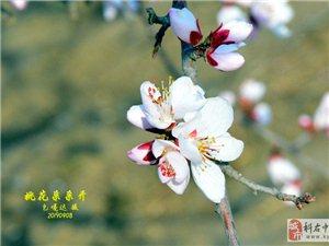 桃花朵朵�_