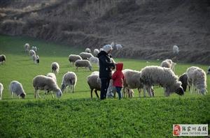 这个在张家川渠子梁上放羊的西吉女人太朴实了